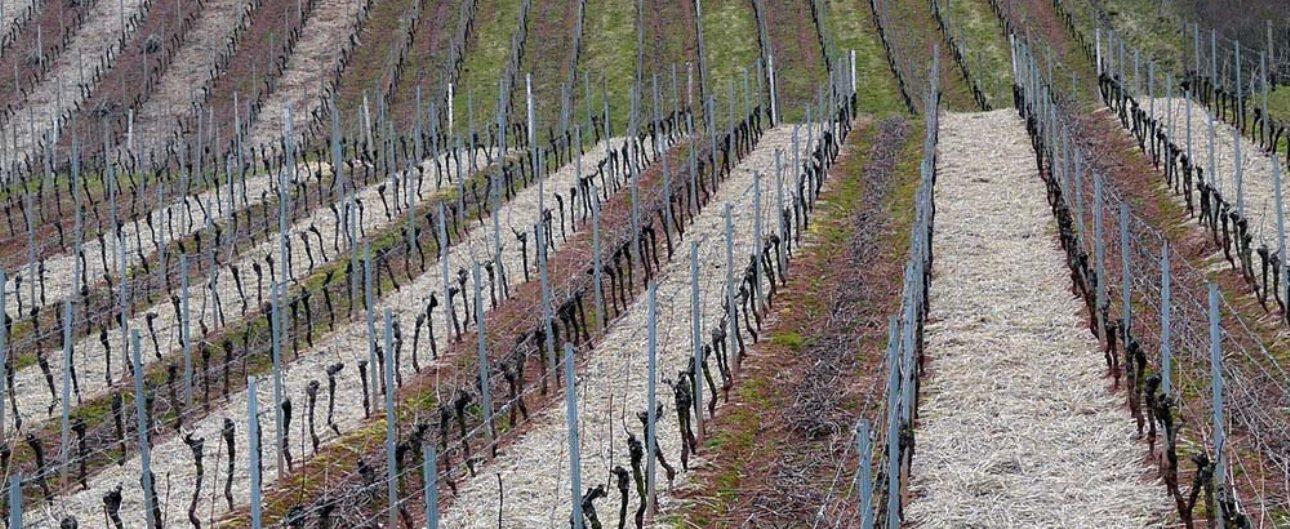 Comment tailler la vigne pour avoir du raisin