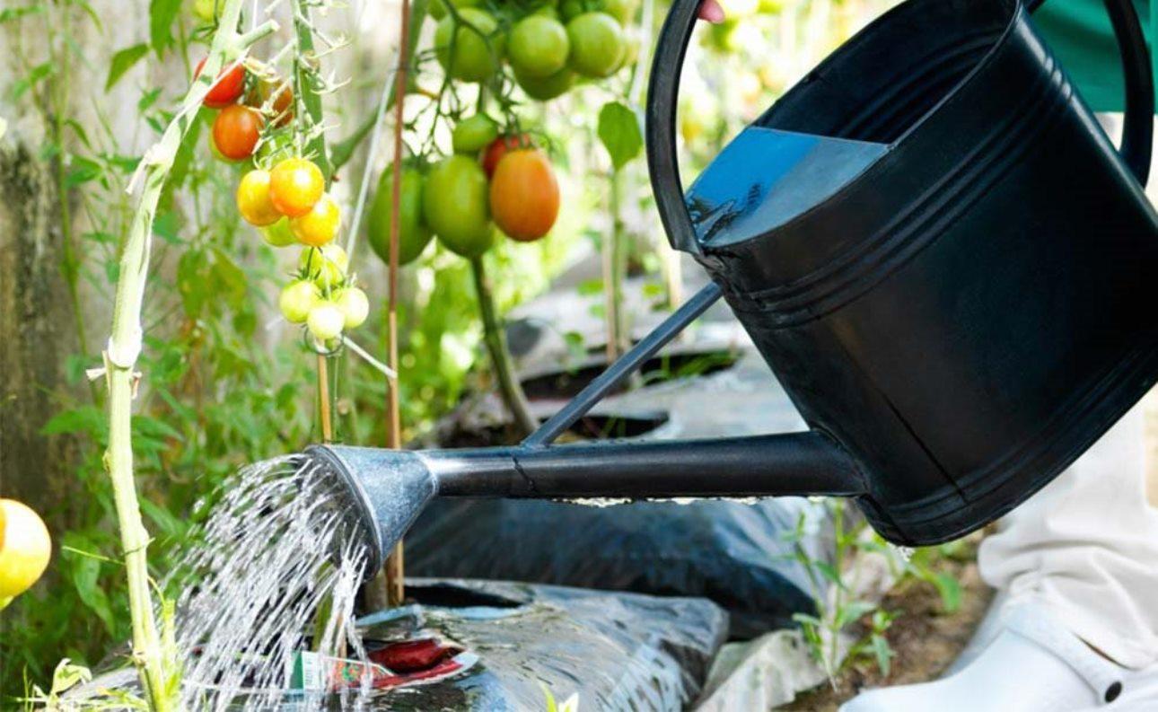 L´arrosage des tomates