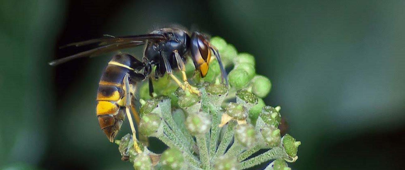 Protégez vos ruches des frelons asiatiques
