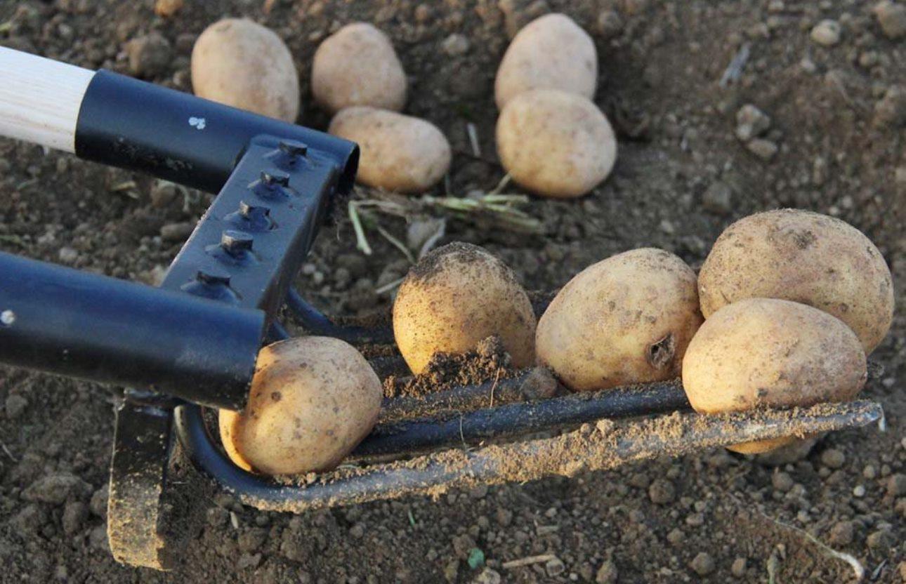 Quand et comment ramasser vos pommes de terre
