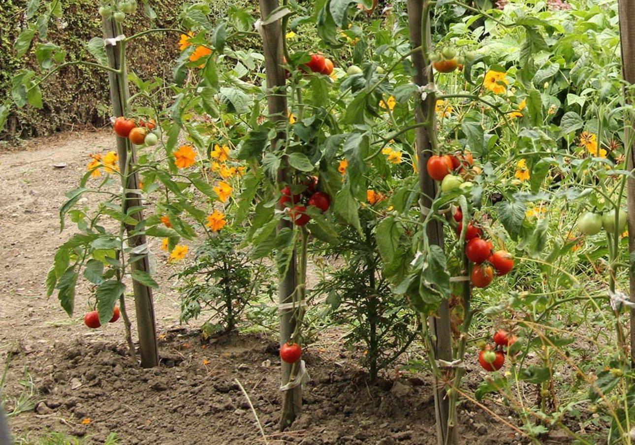 Quel Fruit Planter Au Printemps tomates, les clés de la réussite - outillage de jardin