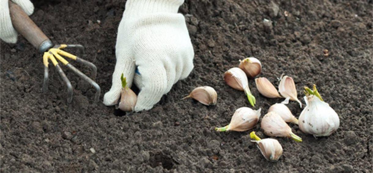 Planter de l'ail